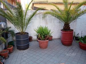 Palme da giardino ventennali posot class - Palme nane da giardino ...
