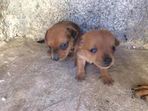 2 Cuccioli Pincher un maschio è una femmina