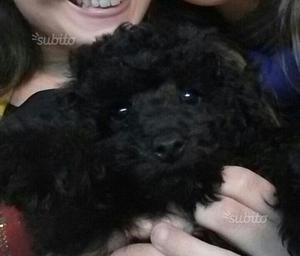 Barbone toy femmina nera