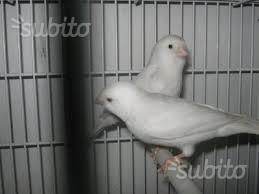 Canarini maschi femmine