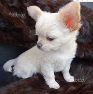 Chihuahua femmina con pedigree ENCI