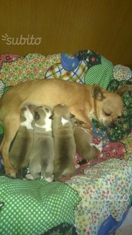 Chihuahua femmina fattrice