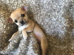 Chihuahua maschietto a pelo corto