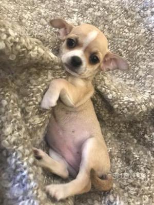 Chihuahua pelo corto femminuccia