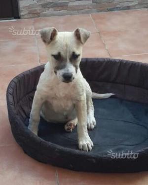 Cucciola cane taglia media max 15 kg cannella