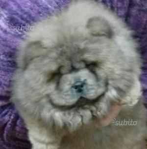 Cucciola di Chow Chow cannella alta genealogia