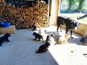 Cuccioli Labrador meticci