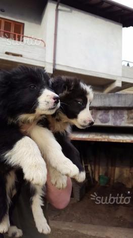 Cuccioli border collie maschi
