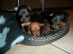 Cuccioli di PINSCHER MINI TOY