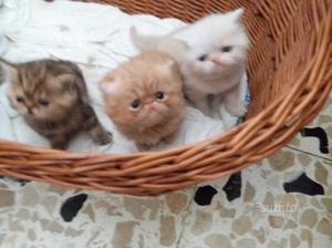 Cuccioli di gattini persiani esotici