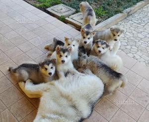 Cuccioli maschi di alaskan malamute