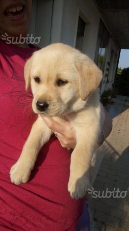 Labrador con pedigree