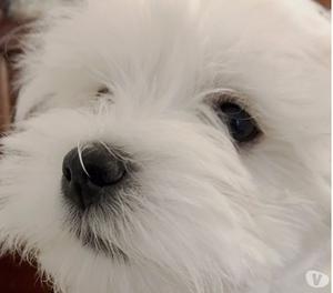 Maltese cuccioli con pedigree Enci