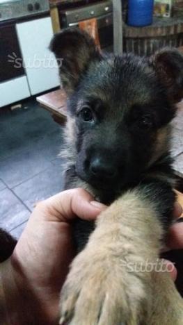 Pastore tedesco ultima cucciola purissima