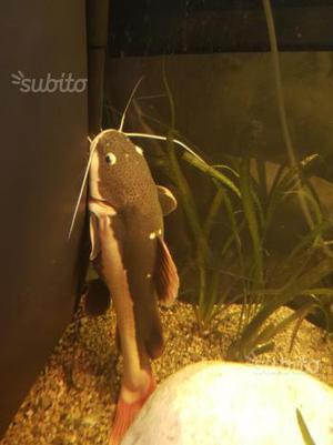 Pesce gatto red tail Phractocephalus hemiliopterus