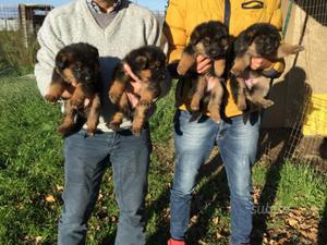 Superr cuccioli pastore tedesco con pedigree