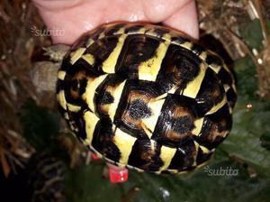Vendo tartaruga testudo hermanni tutta italia posot class for Tartaruga di terra maschio o femmina
