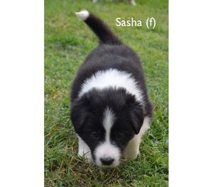 Femmina di Border collie con Pedigree