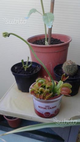 Semi drosera capensis pianta carnivora posot class for Pianta carnivora prezzo