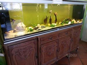 Hypostomus plecostomus pulitore acquario cm posot class - Acquario mobile ...