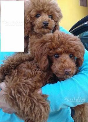 Barboncino Toy Red con Pedigree