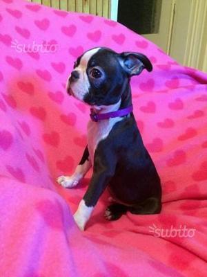 Boston terrier con pedigree