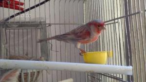 Canarini agata rosso mosaico