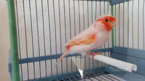 Canarino rosso mosaico