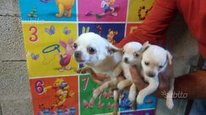 Chihuahua super toy 67 giorni