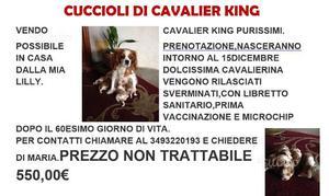 Cuccioli cavalier king
