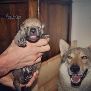 Cuccioli di Cane Lupo Cecoslovacco vendita