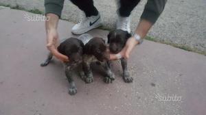 Cuccioli di bracco kurzhaar
