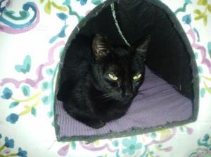 Gattina sterilizzata femmina