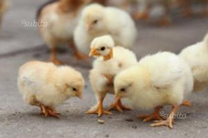Pulcini, polletti, galline,