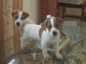 Ultimi cuccioli Jack Russell Terrier Roy