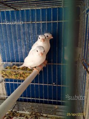 Canarini bianchi recessivi