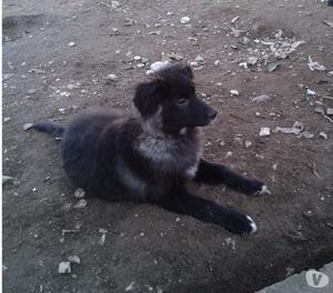 ROY cucciolo meticcio simil pastore del Caucaso