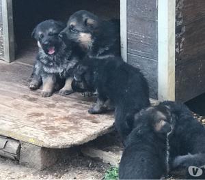 Cuccioli pastore tedesco con pedigree