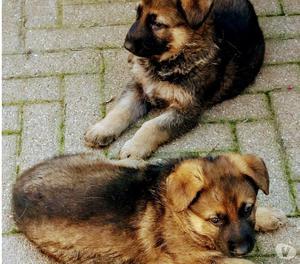 Cuccioli di pastore tedesco con pedigree