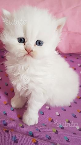 2 gattini persiani bianchi maschio e femmina