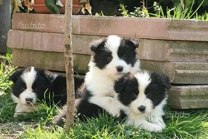 Border collie cuccioli con pedigree