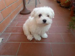 CUCCIOLA maltese toy di 4 mesi