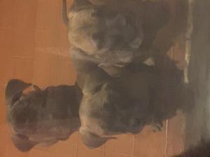 CUCCIOLI cane corso
