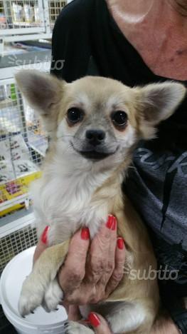 Chihuahua Toy Femmina pelo lungo