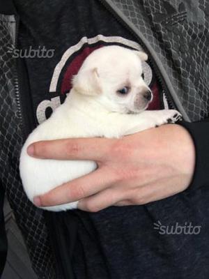 Chihuahua cuccioli con pedigree enci
