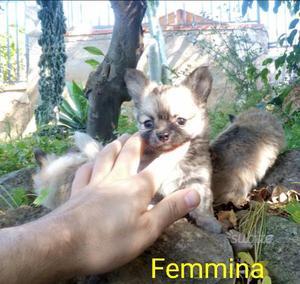 Chihuahua pelo lungo con pedigree
