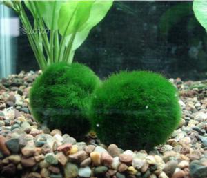 Cladophora 4-5cm pianta vera per acquario
