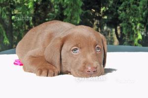 Cucciola femmina di Labrador cioccolato