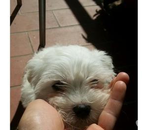Cucciola maltese toy