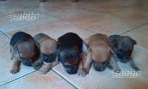 Cuccioli meticci volpino nano matera posot class for Pincher volpino